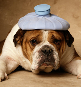 Do Dogs and Cats Suffer From Bloat?