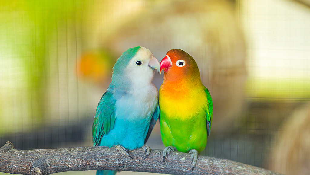 Loveable Lovebirds!