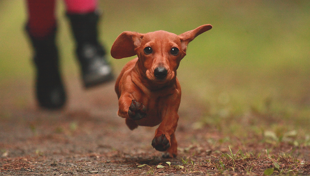 Dog Breeds: The Little Dachshund