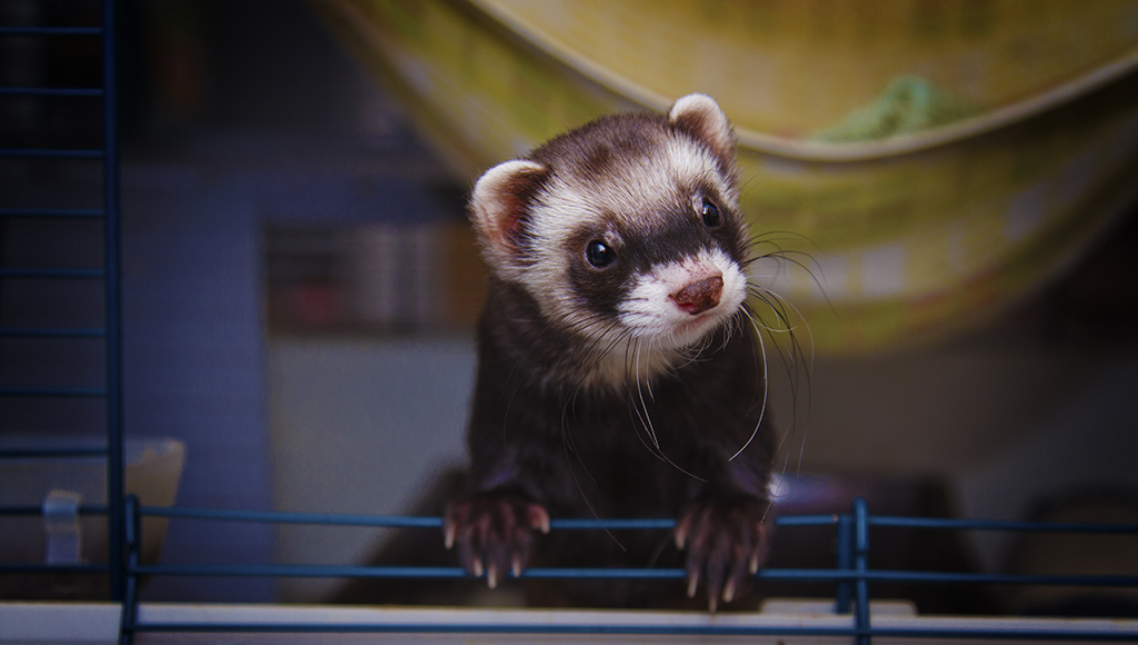 Ferrets: Litter Box Training Tips
