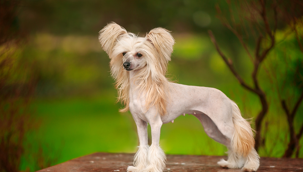 Exotic Dog Breeds: Chinese Cresteds