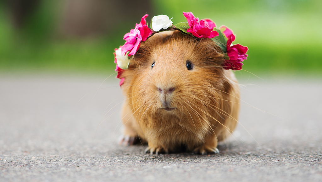 Good Care For Your Guinea Pig