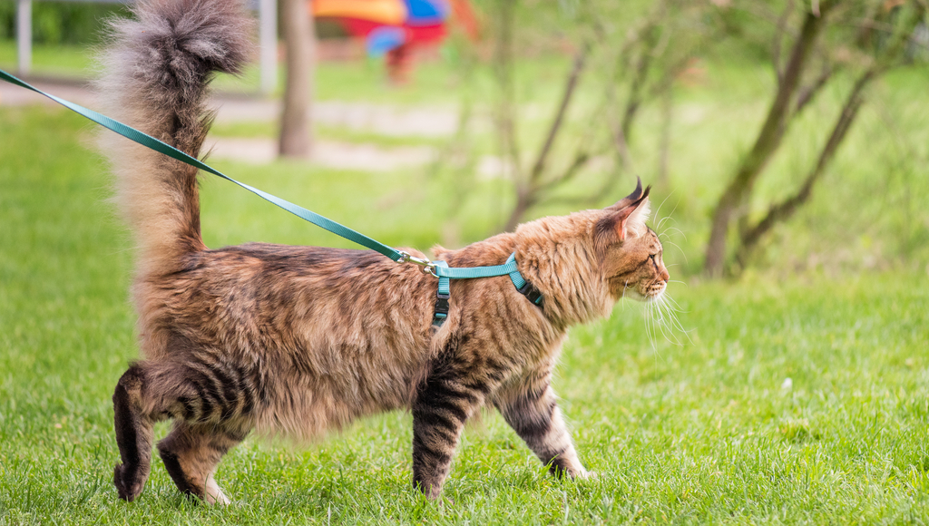 Should You Walk Your Indoor Cat Outside on a Leash?