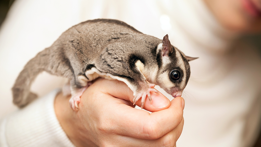 Pocket Pets: What is a Sugar Glider?