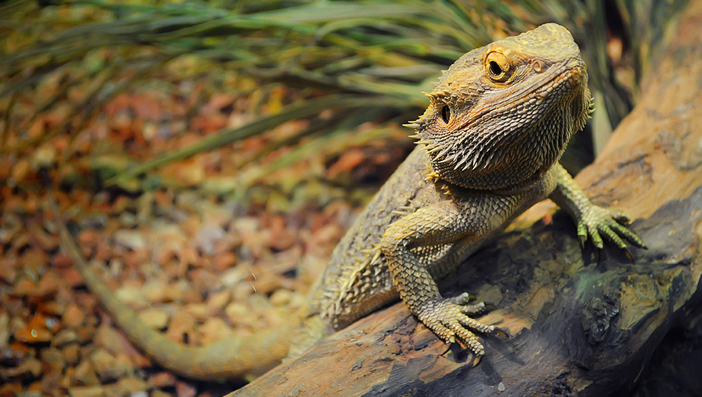 Bearded Dragons: How to Prevent Impaction