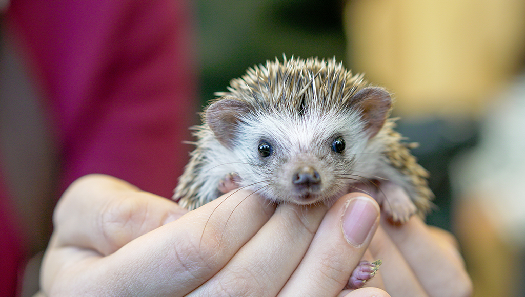 Adorable African Pygmy Hedgehogs