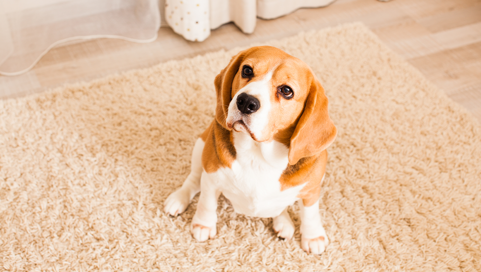 Ask Dr. Jenn: Why does my dog drag her back end across the carpet?