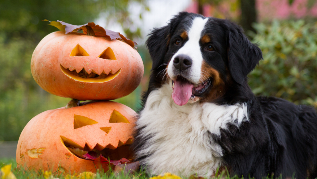 DIY: Pumpkin Dog Treats and Carving Fun!