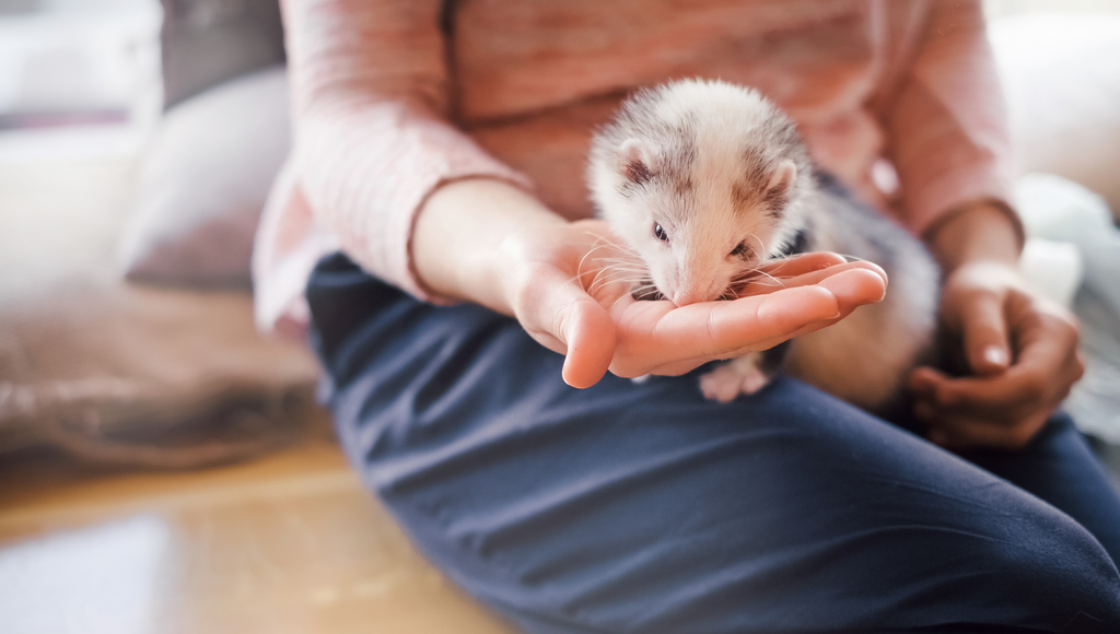 What should your pet ferret eat?
