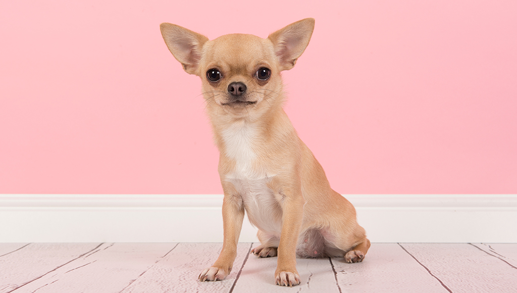 Helpful Tips: Training Your Chihuahua