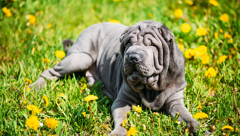 All About the Chinese Shar-Pei