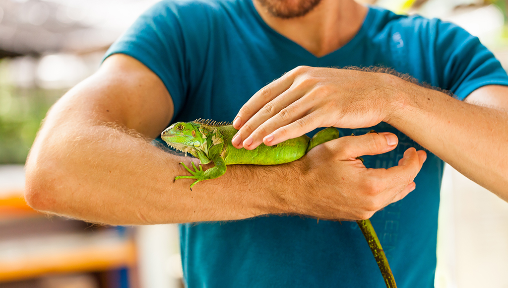 Are You Really Ready For an Iguana?