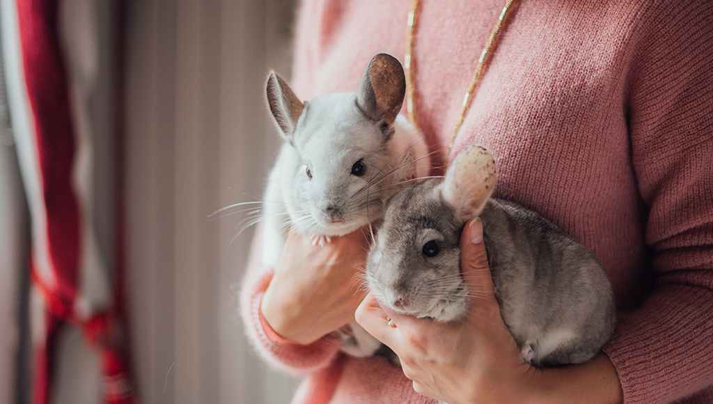 Chinchillas Are Fun and Friendly!