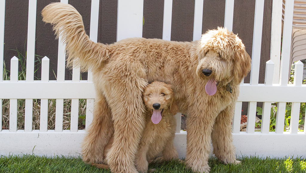 What's the Difference: Designer or Hybrid Breeds?
