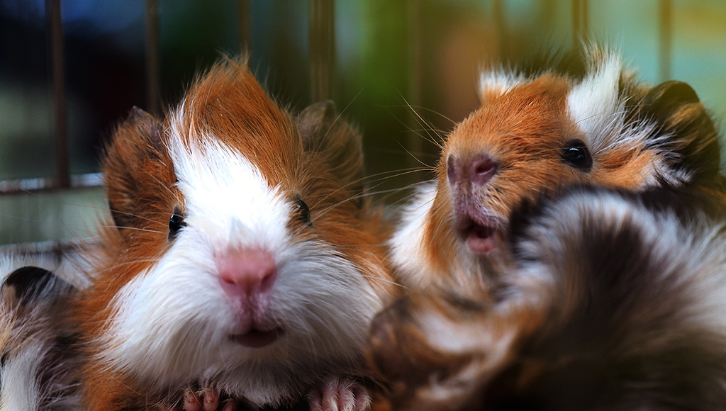Tips on Common Hamster Ailments