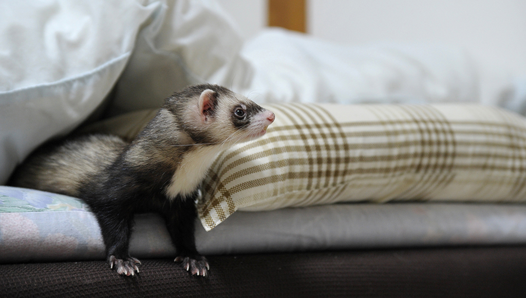 Recognizing Your Ferret's Illness