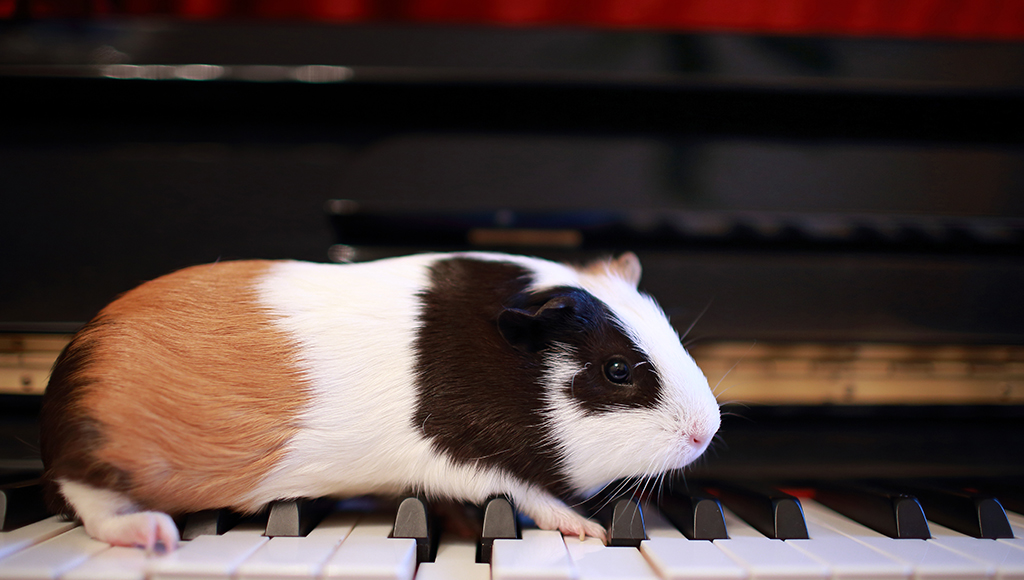 Exercising Your Guinea Pig Safely